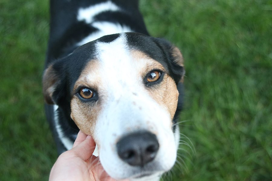 Three-year-old beagle mix Summer uses her dog kisses and tail wags to make her family less stressed and bring smiles to their faces.