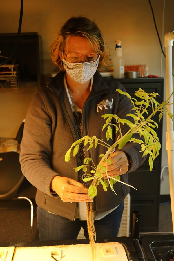 Due to the tomato plant's wilting leaves, science teacher Julie Roberts transfers the plant to the clay pebbles, which are fertilized by waste from the fish in hopes of the plant thriving Monday, Dec. 7