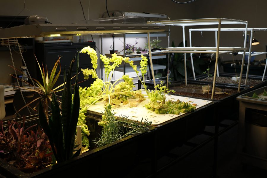 Several plants, including tomatoes, grow in the aquaponics garden in either soil or clay pebbles and are fed by artificial light.